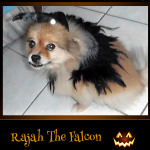 Rajah the Falcon - Pet Costume Contest Entry